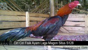Ciri Ciri Fisik Ayam Laga Magon Situs S128