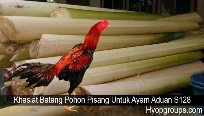 Khasiat Batang Pohon Pisang Untuk Ayam Aduan S128