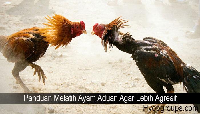 Panduan Melatih Ayam Aduan Agar Lebih Agresif