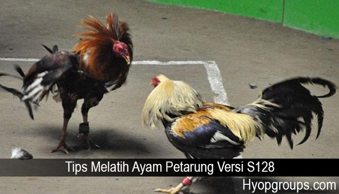 Tips Melatih Ayam Petarung Versi S128
